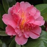 Camellia japonica 'Strawberry Parfait'