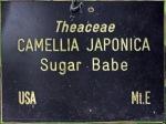 Camellia japonica 'Wilamena'