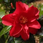 Camellia japonica 'Wildfire'