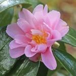Camellia hybrid 'Winter's Charm'