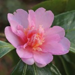 Camellia hybrid 'Winter's Interlude'