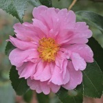 Camellia hybrid 'Winter's Joy'