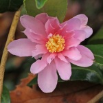 Camellia hybrid 'Winter's Rose'