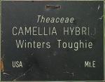 Camellia hybrid 'Winter's Toughie'