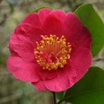 Camellia japonica 'Alexander Hunter'