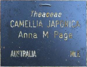 Camellia japonica 'Anna M Page'