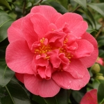 Camellia japonica 'Anna M Page'