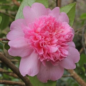 Camellia x williamsii 'Ballet Queen'