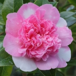 Camellia x williamsii 'Ballet Queen Variegated'