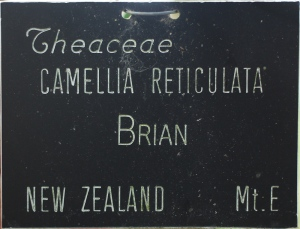 Camellia hybrid 'Brian'