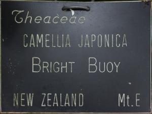 Camellia japonica 'Bright Buoy'