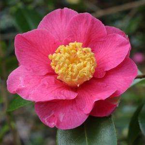 Camellia x williamsii 'Burwell's Primus'