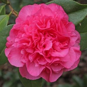 Camellia x williamsii 'Debbie'
