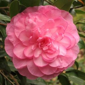 Camellia x williamsii 'Dream Boat'