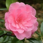 Camellia x williamsii 'Dream Boat'