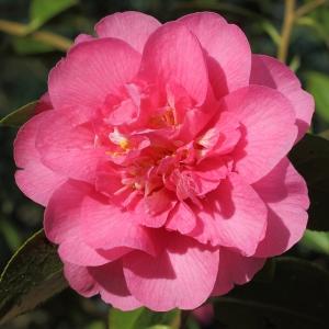 Camellia x williamsii 'Elegant Beauty'