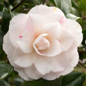 Camellia japonica 'Ellen Sampson'
