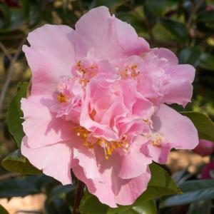 Camellia a williamsii 'Elsie Jury'