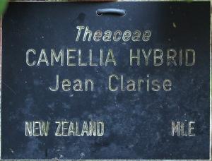 Camellia x williamsii 'Jean Claris'