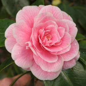 Camellia japonica 'Jean Clere'