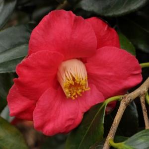 Camellia japonica 'Jupiter' (Paul)