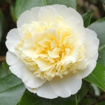 Camellia x williamsii 'Jurys Yellow'