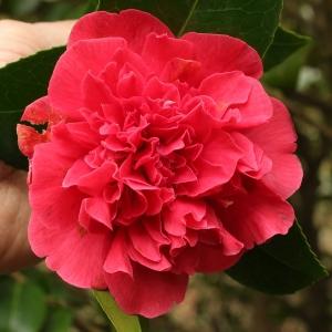 Camellia x williamsii 'Wilber Foss'