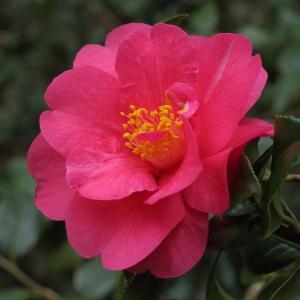 Camellia x williamsii 'Mirage'