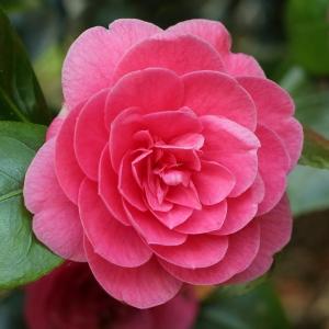 Camellia japonica 'Otahuhu Beauty'
