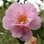 Camellia hybrid 'Phyl Doak'