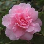 Camellia x williamsii 'Rose Bouquet'