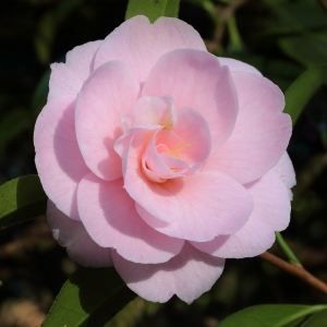 Camellia japonica 'Rosemary Elsom'