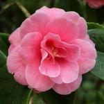 Camellia japonica 'Ruth Kemp'