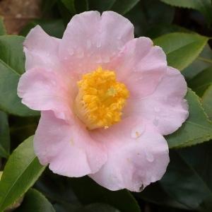 Camellia japonica 'Spencers Pink'