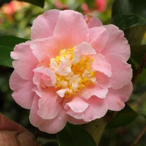 Camellia japonica 'Vospers Rose'