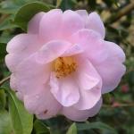 Camellia x williamsii 'Clarrie Fawcett'