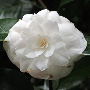 Camellia japonica 'Alba Plena di Casoretti'