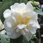 Camellia japonica 'Anna Bruneau'