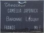 Camellia japonica 'Baronne Leguay'