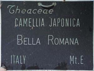 Camellia japonica 'Bella Romana'