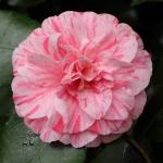 Camellia japonica 'Bella Romana' (5A-008)