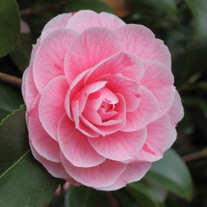 Camellia japonica 'Bonomiana'