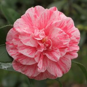 Camellia japonica 'Comte de Gomer'