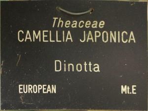Camellia japonica 'Dinotta'