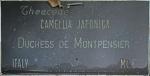 Camellia japonica 'Duchessa di Montpensier'
