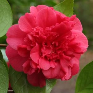 Camellia japonica 'Duchesse Decazes'