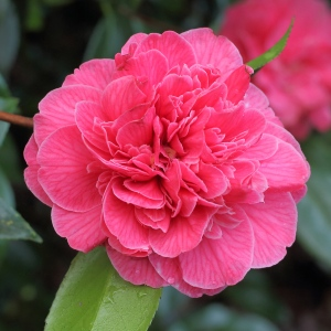 Camellia japonica 'Eugene Lizé'