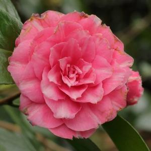 Camellia japonica 'Faustina'