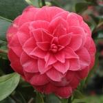 Camellia japonica 'Frans Van Damme'