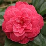Camellia japonica 'Fred Sander'